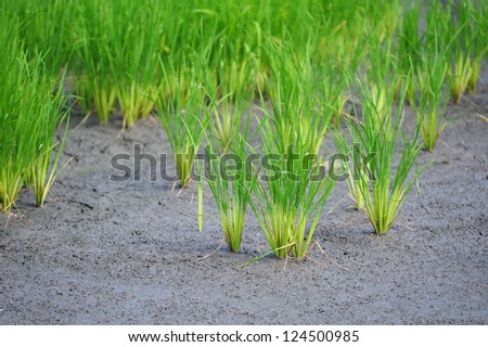 rice field in paddy