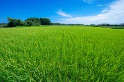 rice field in summer in Ibaraki Japan