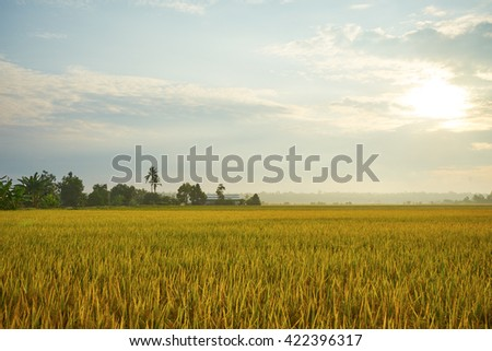Rice field in sunset time #422396317