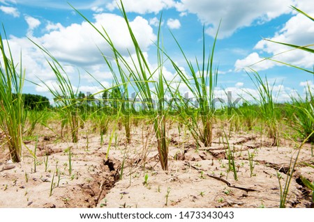 Rice field in Thailand, Prematurely dried out due to lack of rain. Rice seedlings growing on the barren fields and no water in drought rice​ field​ with​ cracked​ soil.