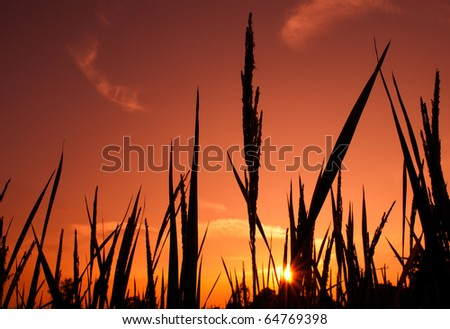 Rice field in the evening
