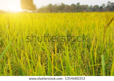 Rice field in the morning #1354680353