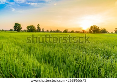 Rice Field in the Morning. #268955573