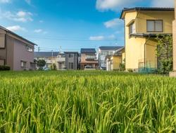 Rice field in urban residential area in summer, under blue sky, Kanazawa city, Ishikawa Prefecture, Japan.