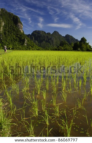 Rice field in Vang Vieng Laos South East Asia