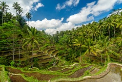 Rice field of Ubud Bali