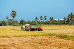 rice field on blue sky background