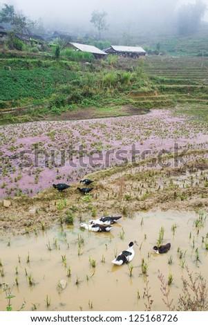 rice field on terraced in mountain. Terraced rice fields in Vietnam.