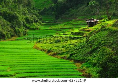 rice field,Thailand