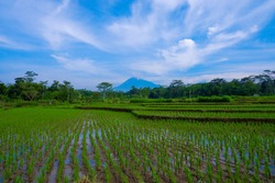 Rice field view with mountain and blue sky background