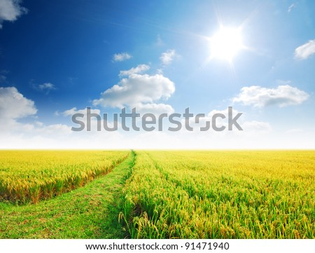 Rice field way on the green field background cloud cloudy