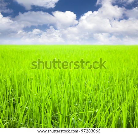 rice field with cloud background at spring time
