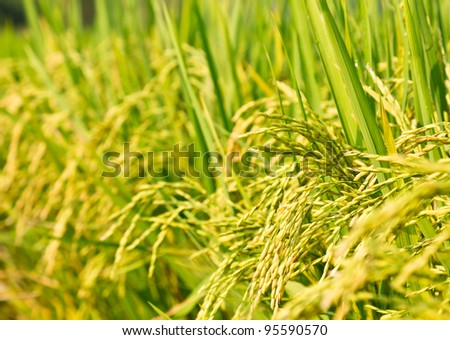 Rice field with seed panicles. Heads are starting to turn as they ripen and mature. Side view closeup.