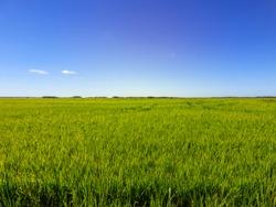 Rice fields against blue sky in Uruguaiana, Brazil