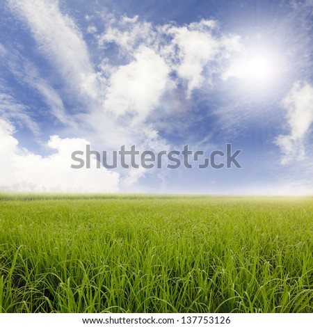 Rice fields and blue sky  - stock photo