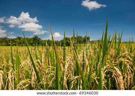 Rice fields and deep blue sky