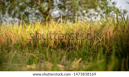 Rice fields and rice fields