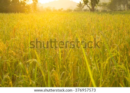 rice fields and sunrise #376957573