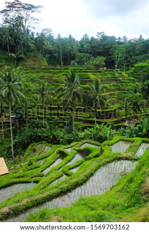 Rice Fields Bali - Indonesia Landscape Rice Terrace terracing livelihood