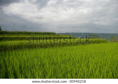 Rice fields close to the village of Pelaga. This scenic area is fast becoming a new tourist destination in Bali. Pelaga, Bali, Indonesia.