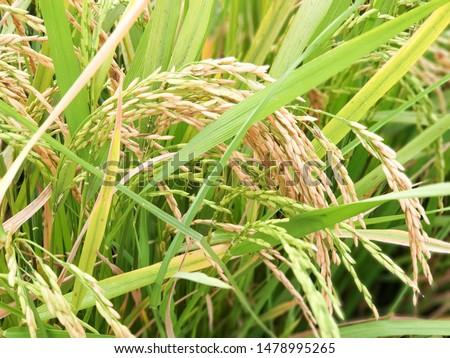 Rice fields in the fields food Asia #1478995265