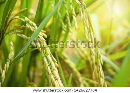 Rice fields in the rice fields in the morning with a mild sun. Close-up image of the grain, which is the main grain of the Asian people.