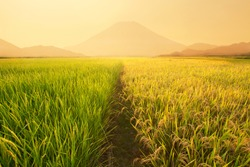 Rice fields near the volcano at japan in sunset time.