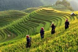 Rice fields on terraces in the sun at MuCangChai, Vietnam. Rice fields prepare the harvest at Northwest Vietnam
