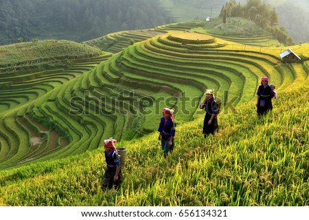 Rice fields on terraces in the sun at MuCangChai, Vietnam. Rice fields prepare the harvest at Northwest Vietnam ストックフォト ©