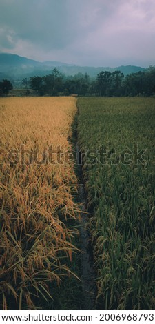 rice fields that look beautiful with two different colors, with different levels of maturity in Indonesia