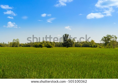 Rice fields with blue sky #505100362