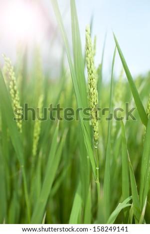 rice growing in summer season,.china