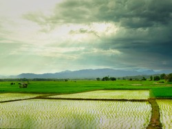 Rice growing on the fields With a mountain background While the sun shines through the clouds.