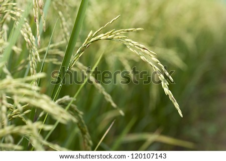 Rice in field