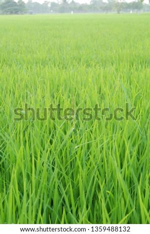 rice in field. rice in nature field. green field.rice field.
