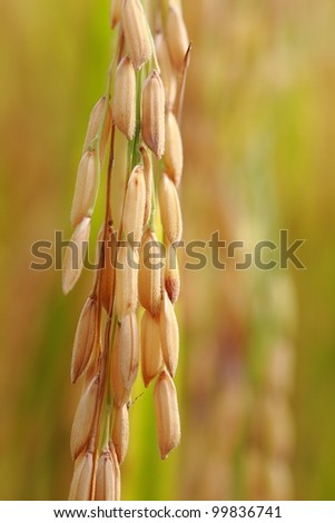 rice in nature field, ready for harvest