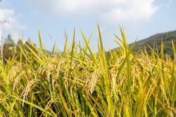rice in the golden field ahead of harvest Healthy and delicious Asian rice