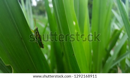 Rice locust locust leaf eaters, a type of corn and rice this is not harmful to plants as well as humans