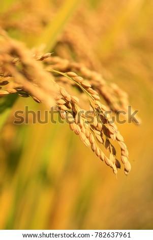 Rice paddies, rice growing #782637961