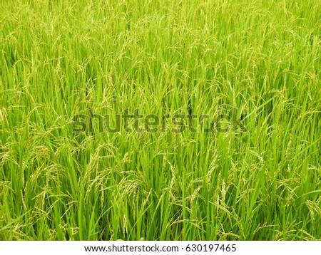 Rice paddy #630197465