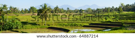 Rice paddy - stock photo