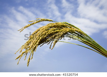 Rice paddy against blue sky