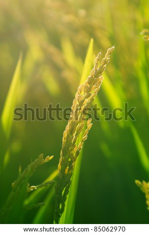 Rice paddy back lit - stock photo