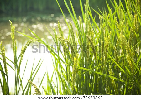 rice / paddy field in sunshine / soft selective focus on the  foreground