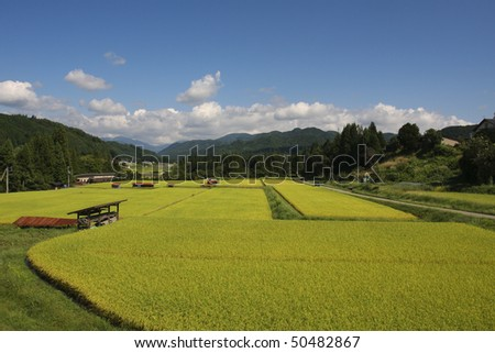 Rice paddy of the blue sky and profit in autumn