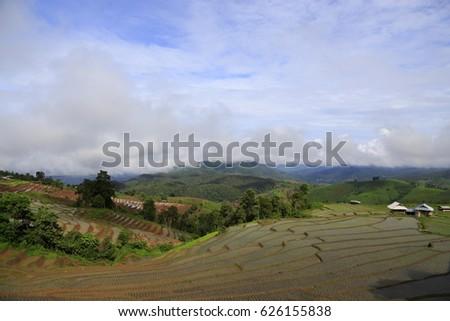 rice plant #626155838