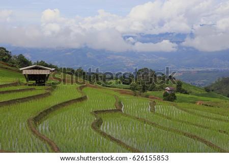 rice plant #626155853