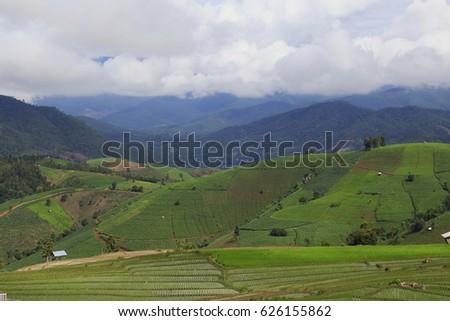 rice plant #626155862
