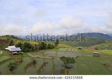 rice plant #626155868