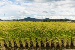 rice plant agriculture field